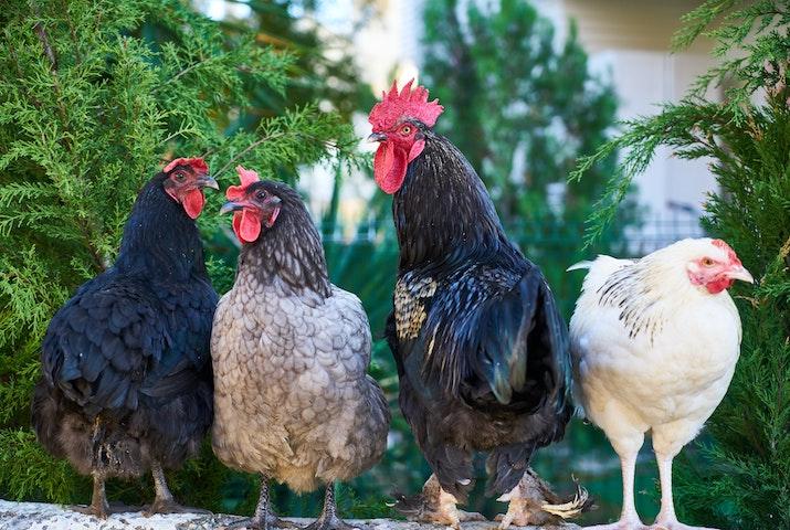 La Russie annonce avoir détecté le premier cas de transmission à l'humain de la grippe aviaire